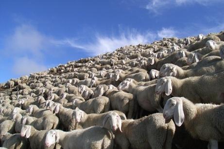 La proteste delle pecore