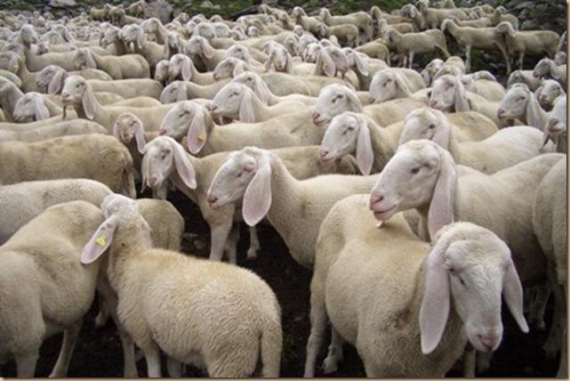 gregge pecore Cronache laiche